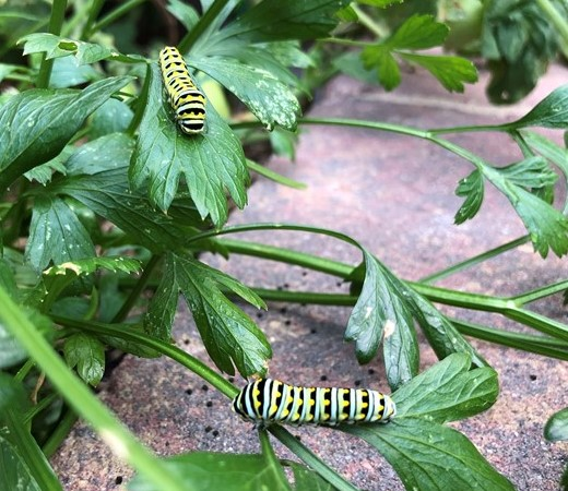 Swallowtail caterpillars pollinating parsley plants
